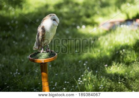 Single barn owl perched on wooden trespole