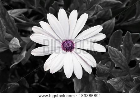 White marguerite with violet pollen and gray background