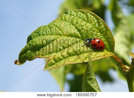 Ladybird beetle (Coccinella septempunctata) preys on herbivorous homopterans such as aphids or scale insects which are agricultural pests.