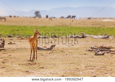 Portrait of single male oribi standing in arid Kenyan savannah, Africa