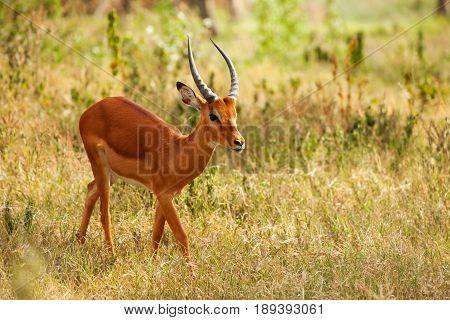 Portrait of fawn impala walking alone in dry grass of African savannah
