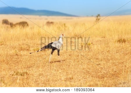 Secretary bird walking in grassland of Kenyan savannah, Maasai Mara National Reserve