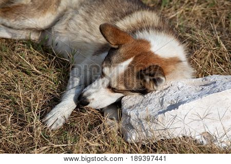 Homeless dog rests on stone pillow in sun summer day