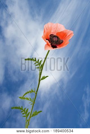 View of a pink poppy on a blue sky background.
