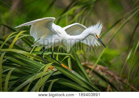 Florida Wildlife Snowy Egret Migratory Bird at a aviary rookery and nature area in St Augustine FL