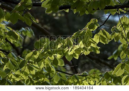 Natural background of  Elm or Ulmus green springtime branch in the Plana mountain, Bulgaria