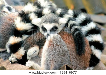 group of ring tailed lemurs taking a nap