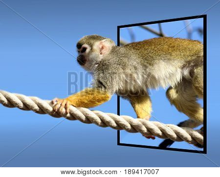 common squirrel monkey klimbing on a rope - in out of bounds effect