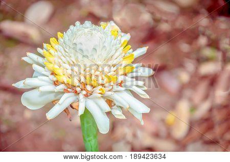 Etlingera elatior (also known as torch ginger ginger flower white ginger lily torch lily wild ginger