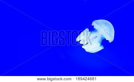 Beautiful jellyfish medusa in the neon light ocean wildlife Underwater life in ocean jellyfish.
