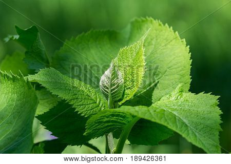 View on green Leaves in the Morning Light. Growing Plants in the Forest. Close-up of green Leaves.