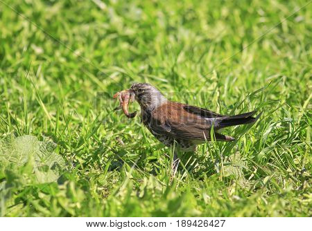 bird Blackbird gathered on a green meadow full beak pink worms for the Chicks