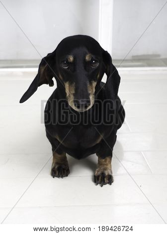 Dachshund dog portrait over white background. Beautiful dachshund dog sitting on the white floor.