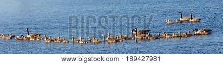 Panoramic view of of three Canada Goose (branta canadensis) families swimming across Lake Wausau in Wisconsin during the spring
