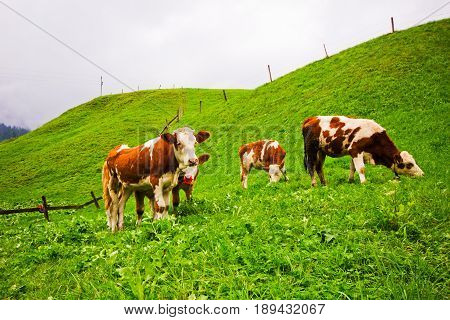A herd of longhorn cows grazing on the alpine meadow on Tirol. Rural landscape in the Alps on Tirol in Austria.