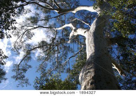 Gum Tree 2