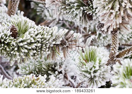 The branches of a coniferous tree covered with hoarfrost. A Christmas tree under snow. Frosty weather in the winter.