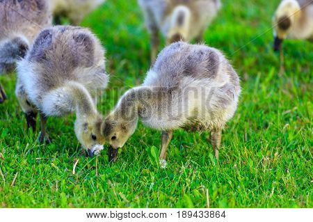 ild Canada Goose (branta canadensis) goslings eating together on a spring day in Wisconsin