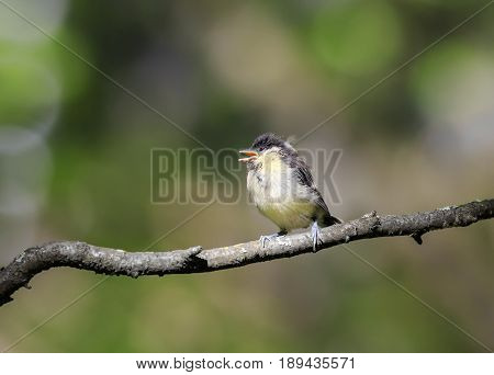 funny little chick tit sitting on a branch staring with wide open beak
