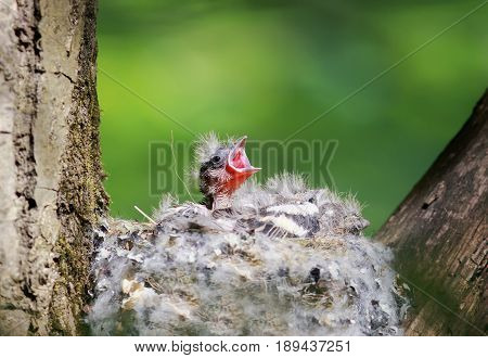 hungry baby Finch out of the nest their open hungry beaks waiting parents