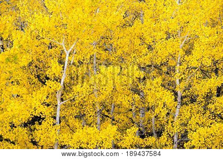 Intense yellow color in an Aspen Tree stand as the seasons change