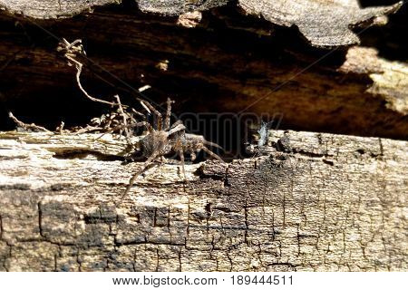 The gray spider lurked on the tree bark near the burrow close-up