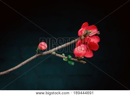 Red flower of Japanese quince on a dark background. Greeting card space for copy selective focus.