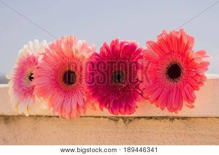 Four gerbers. Beautiful pink flowers. Summer panorama. Colorful bouquet.