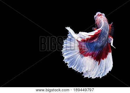 Capture the moving moment of red blue white siamese fighting fish isolated on black background. Dumbo betta fish