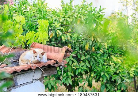 Feral cat resting on the roof tiles
