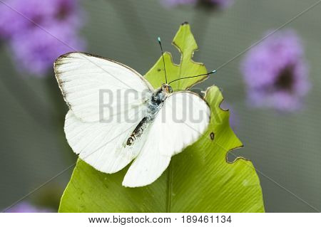 White sulphur butterfly. Close up. Macro 150mm