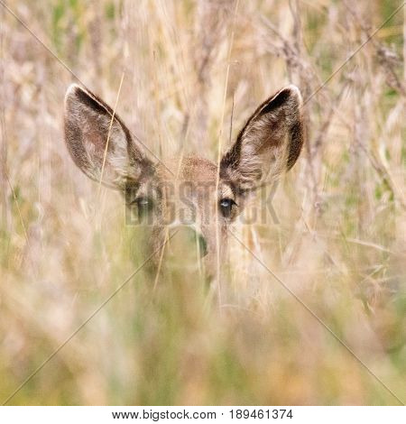 Young Deer Calf peeking though the bushes in Yosemite Valley. Yosemite National Park, CA. USA.