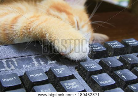 kitten paw on Keyboard computer. cat orange concept business in the use of technology