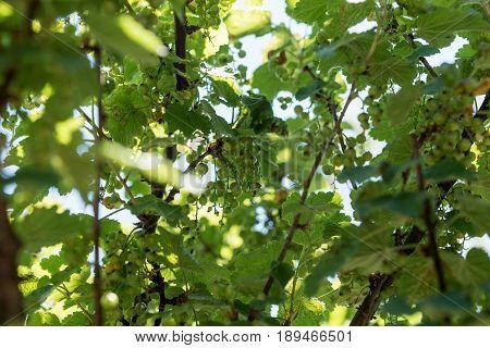 Unripe green currant on the bush in the garden