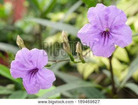Close Up of Two Fresh Purple Ruellia Tuberosa Minnieroot Fever Root Snapdragon Root or Sheep Potato Plants in Garden.