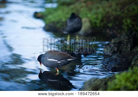 A black bird with a red beak walks in the park by the pond