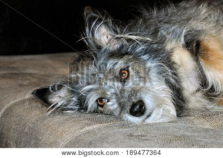 The dog lies on the couch. Dog, half-breed terrier, mongrel, female.
