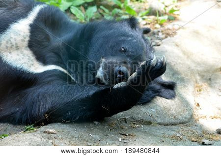Sun bear with a large paw with claws scratching his nose.