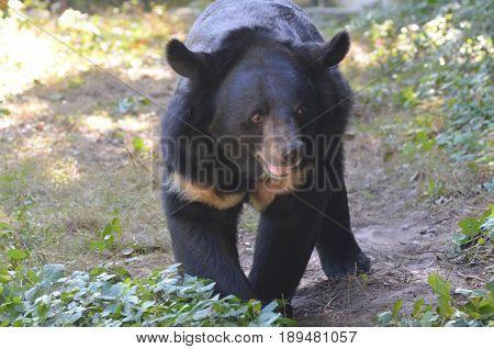 Cute smiling sun bear lumbering along in the wild.