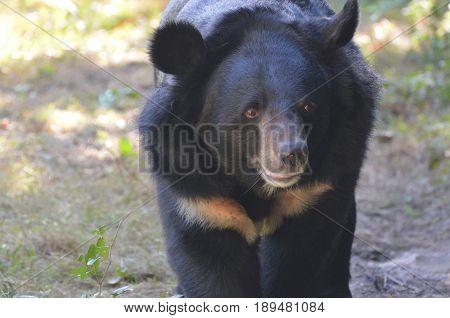 Great looking black sun bear walking along.