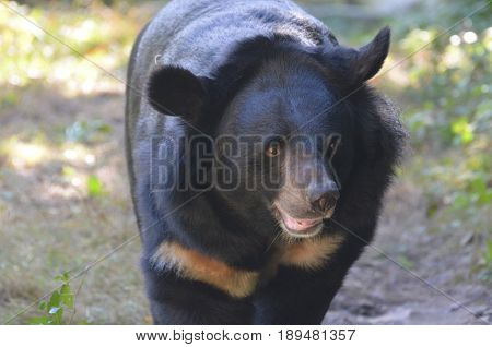 Sun bear moving forward with a sweet expression on his face.