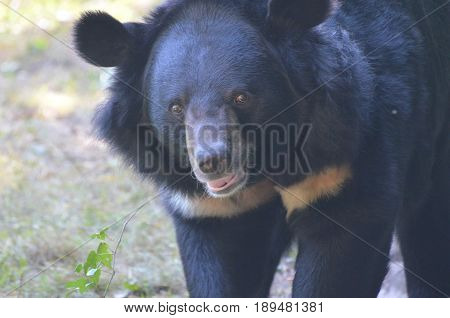 Gorgeous smiling face of a sun bear with a grin.