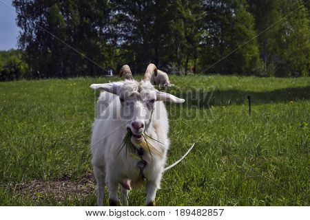 White horned goat grazed on a green meadow and chews grass