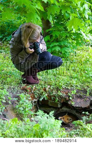 A girl takes pictures of a young fox who looks out of hiding.