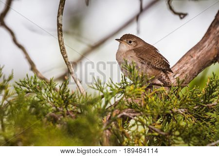 House wren (Troglodytes aedon) perched on a cedar limb with cedar branches in the foreground