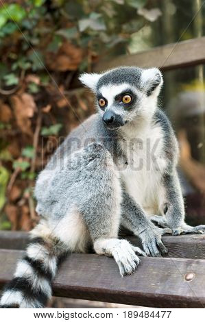 Young Lemur catta in Prague zoo. Ring tailed lemur sitting on bench. Summertime outdoors.