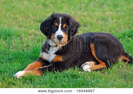 Portrait of puppy Bernese mountain dog in natural scenery