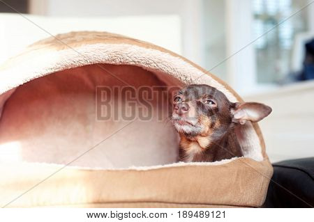 I feel comfortable! Small lazy toy-terrier dog in it's pet house. Indoors.