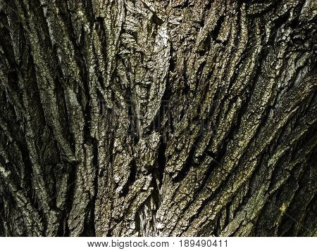 Old scabrous wood texture, big old tree, wooden background, bark texture