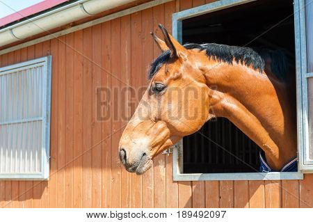 Thoroughbred chestnut color horse portrait in window of stable. Multicolored summertime outdoors horizontal image.